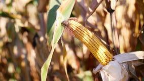 Zakończenie, kukurydzana lala w świetle słonecznym Kukurydzane uprawy na wysuszonych kukurydzanych drzewach są szybkie zbierać wy zbiory wideo