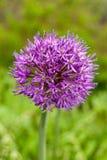 Zakończenie kwiaty purpurowe cebule na lata polu zdjęcie royalty free