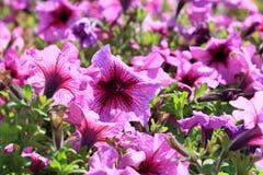 Zakończenie kwiaty różowe petunie Obrazy Stock