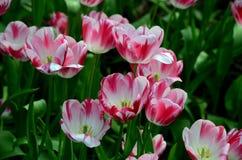 Zakończenie kwitnąć czerwonych i białych tulipany w polu Obrazy Stock
