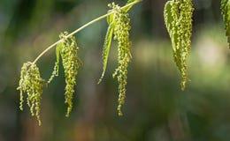 Zakończenie kwitnąć parzącej pokrzywy Urtica Dioica fotografia stock