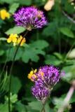 Zakończenie kwitnąca purpurowa ornamentacyjna cebula zdjęcia stock