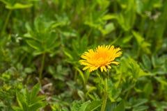 Zakończenie kwitnący żółty dandelion up kwitnie Taraxacum officinale w ogródzie na wiosna czasie Szczegół jaskrawy błonie fotografia stock