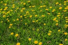 Zakończenie kwitnący żółty dandelion up kwitnie Taraxacum officinale w ogródzie na wiosna czasie Szczegół jaskrawy błonie obraz royalty free