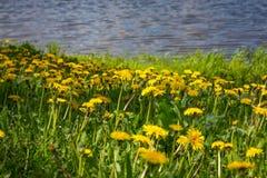Zakończenie kwitnący żółty dandelion up kwitnie w ogródzie na wiosna czasie Zdjęcia Royalty Free