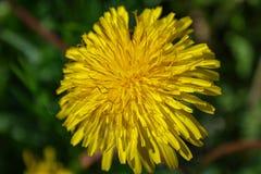Zakończenie kwitnący żółty dandelion up kwitnie w ogródzie na wiosna czasie zdjęcia stock