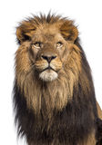 Zakończenie lwa przyglądający up, Panthera Leo, 10 lat obraz stock