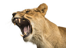 Zakończenie lwicy huczenie, Panthera Leo, 10 lat zdjęcie royalty free