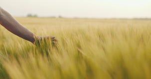 Zakończenie mężczyzna ` s ręki bieg przez pszenicznego pola, dolly strzał 4K zbiory wideo