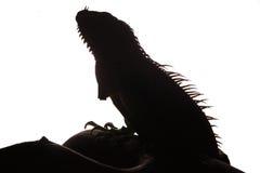 Zakończenie męska Zielona iguana (iguany iguana) Zdjęcia Stock