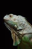 Zakończenie męska Zielona iguana (iguany iguana) Obrazy Royalty Free
