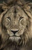 Zakończenie męski lew w Serengeti parku narodowym Obrazy Royalty Free