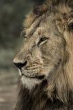 Zakończenie męski lew w Serengeti parku narodowym Fotografia Royalty Free