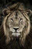 Zakończenie męski lew w Serengeti parku narodowym Fotografia Stock