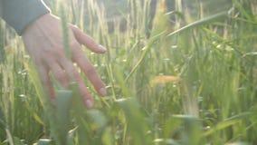 Zakończenie młodej kobiety ` s ręki bieg przez pięknego nasłonecznionego pszenicznego pola, stedicam strzał zbiory wideo