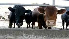 Zakończenie młody byk żuć siano Komarnicy latają wokoło Rząd krowy, duży czarny purebred, lęgowi byki je siano Rolnictwo zbiory wideo