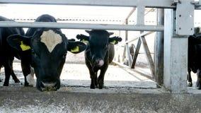 Zakończenie młody byk żuć siano Komarnicy latają wokoło Rząd krowy, duży czarny purebred, lęgowi byki je siano Rolnictwo zbiory