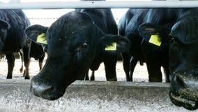 Zakończenie młody byk patrzeje kamerę, żuć siano Komarnicy latają wokoło Rząd krowy, duży czarny purebred, lęgowi byki zbiory