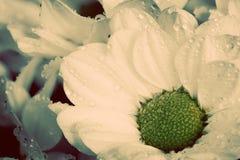 Zakończenie młodzi świezi kwiaty w wiośnie Rocznik Obrazy Royalty Free