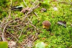 Zakończenie mały borowik edulis w błyszczącym zielonym mech otaczającym gałąź i liśćmi Szczegół pieczarki w lasowej cent babeczce zdjęcia stock