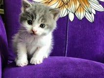 Zakończenie mały dojny kot na purpurowej kanapie Obraz Royalty Free
