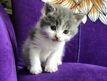 Zakończenie mały dojny kot na purpurowej kanapie Zdjęcia Royalty Free