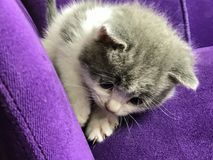 Zakończenie mały dojny kot na purpurowej kanapie Obrazy Royalty Free