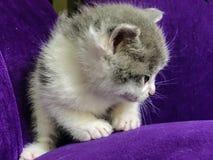 Zakończenie mały dojny kot na purpurowej kanapie Obrazy Stock