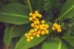 Zakończenie Mali Żółci Dzicy kwiaty z komarnicami Odgórny widok zdjęcie royalty free
