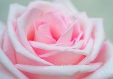 Zakończenie menchii róża z kroplami rosa na płatkach Boczny widok Zdjęcia Stock