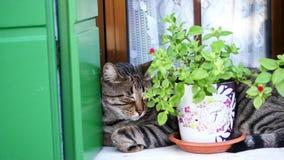 Zakończenie, na okno blisko kwiatu garnka kot śpi gorące letnie dni zdjęcie wideo