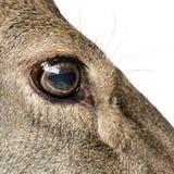 Zakończenie na oku żeński czerwony rogacz obrazy stock