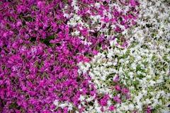 Zakończenie na wiele białym i purpurowym małym polu kwiaty Backgr Zdjęcie Stock
