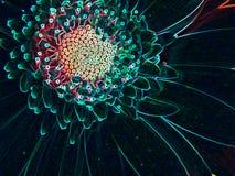 zakończenie Neonowy kontur Gerber stokrotki kwiatu okwitnięcia kwiatu płatek Obrazy Stock