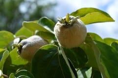 Zakończenie Niedojrzała pigwy owoc, natura, Makro-, Sicily obrazy stock