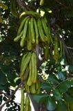 Zakończenie Niedojrzałe Carob Drzewne owoc, natura, odrobiny, Sicily, Włochy, Europa obrazy royalty free