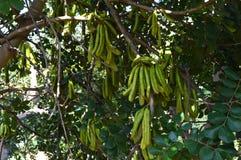 Zakończenie Niedojrzałe Carob Drzewne owoc, natura, odrobiny, Sicily, Włochy, Europa zdjęcie stock