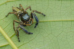 Zakończenie odgórnego widoku bluzy pająka Hyllus męscy keratodes Zdjęcie Stock