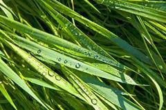 Zakończenie ostrza trawa z dewdrops zdjęcia royalty free