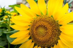 Zakończenie płatki i pollen jaskrawy żółty słonecznik zdjęcia royalty free