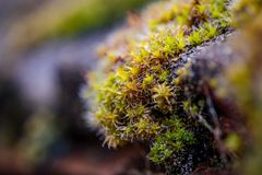 Zakończenie, płycizny ostrości zielony mech widzieć dorośnięcie na płytkach widok, na chałupa dachu Fotografia Stock