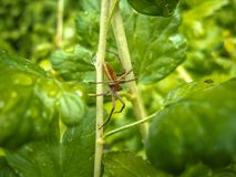 Zakończenie pająka obsiadanie na zielonych liściach agresty fotografia royalty free