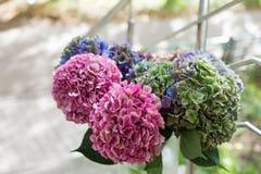 Zakończenie Piękna Wielo- barwiona hortensja up kwitnie, naturalny tło Fotografia Stock