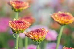 zakończenie piękni różowi kwiaty z ostrością w słońca świetle Obrazy Royalty Free
