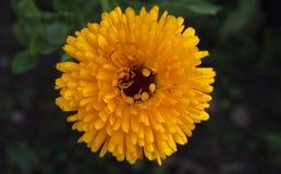 Zakończenie piękny żółty calendula kwiat Zdjęcia Royalty Free