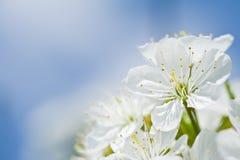 Piękny czereśniowy kwiat przed niebieskim niebem. Obrazy Stock