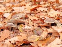 Zakończenie pieczarki w jesień lesie Zdjęcia Stock