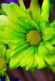 Zakończenie plenerowa wapno zieleni stokrotka z wodą up opuszcza na płatkach zdjęcie royalty free