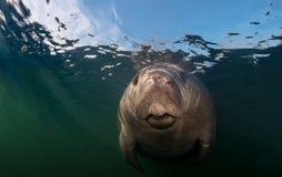 Zakończenie Podwodny manat zdjęcia royalty free