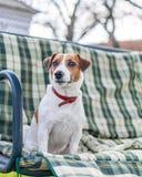 Zakończenie portret śliczny zaciszność psa Jack Russell obsiadanie na zielonych w kratkę ochraniaczach, poduszce na ogrodowej ław obrazy stock